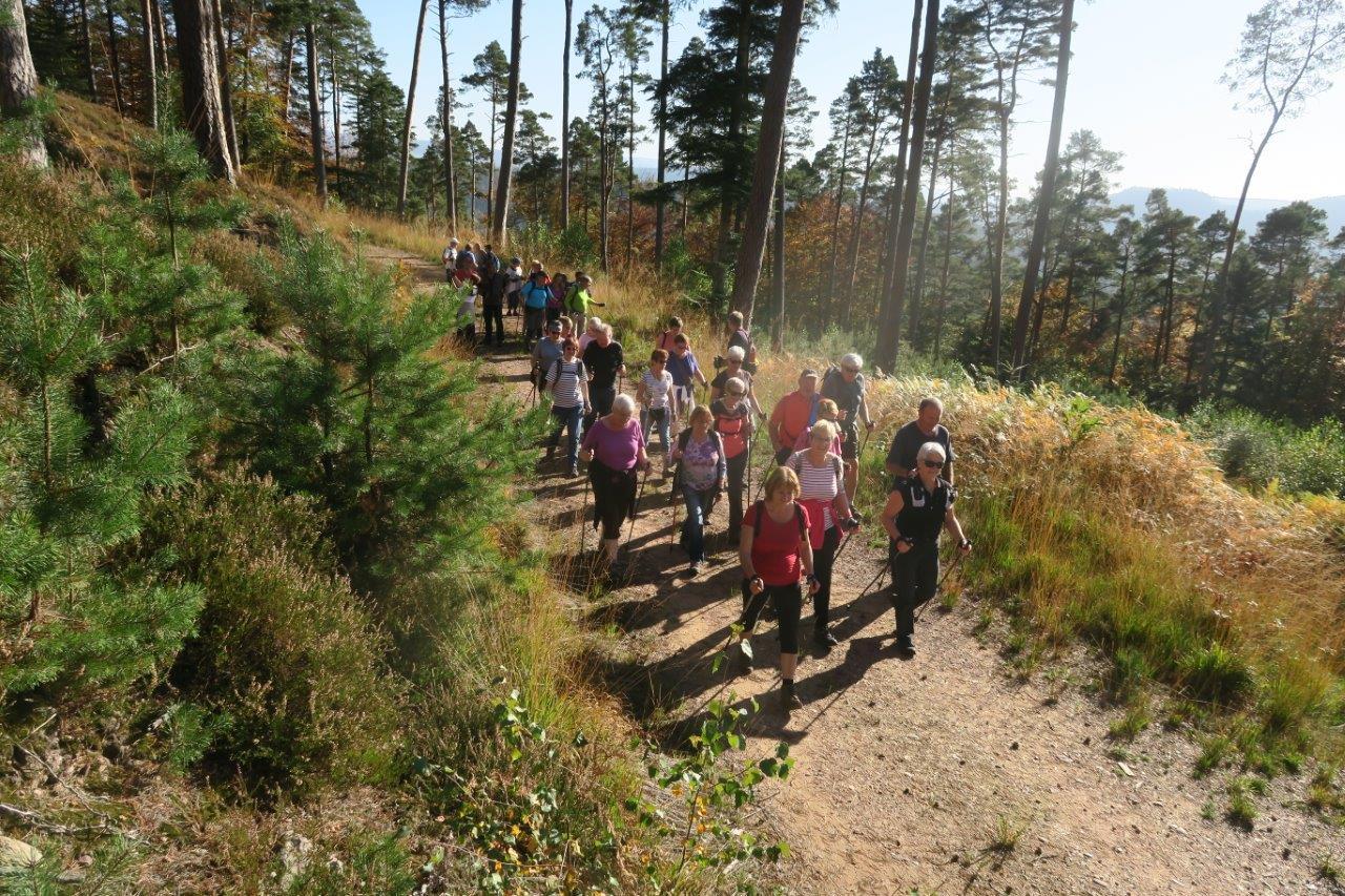 Marche au milieu des pins de la forêt du Kemberg à Saint-Dié