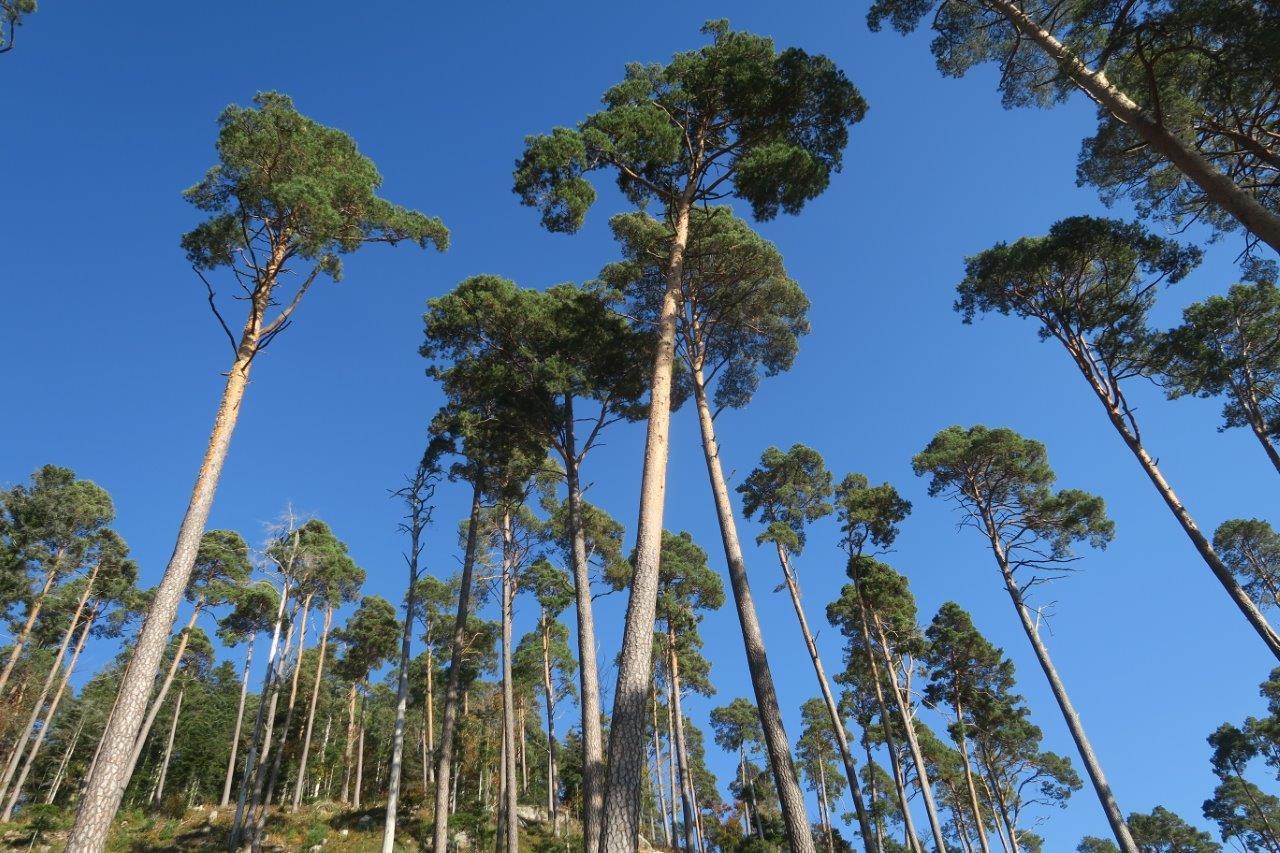 photos des pins et du ciel bleu
