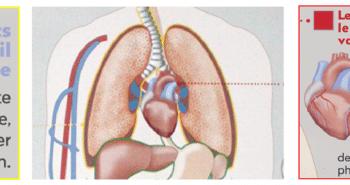 Schéma des pathologies cardiorespiratoires liées au tabac