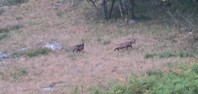Photo de deux chamois