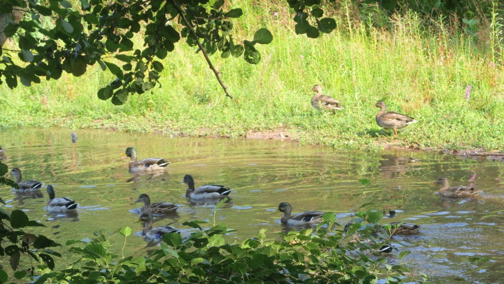 Photo des canards sur les bords de la Meurthe